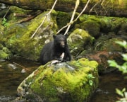 Ketchikan Bear and Wildlife Hiking Expedition - 2 1/2 Hours