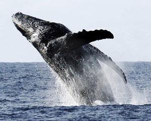 Whale Watching Waikoloa, Kona-Kohala Coast - 2 Hours